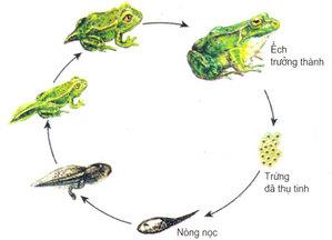 Kết quả hình ảnh cho sơ đồ phát triển của con ếch